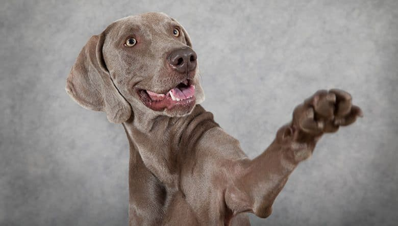 Weimaraner dog waiving hello into the owner