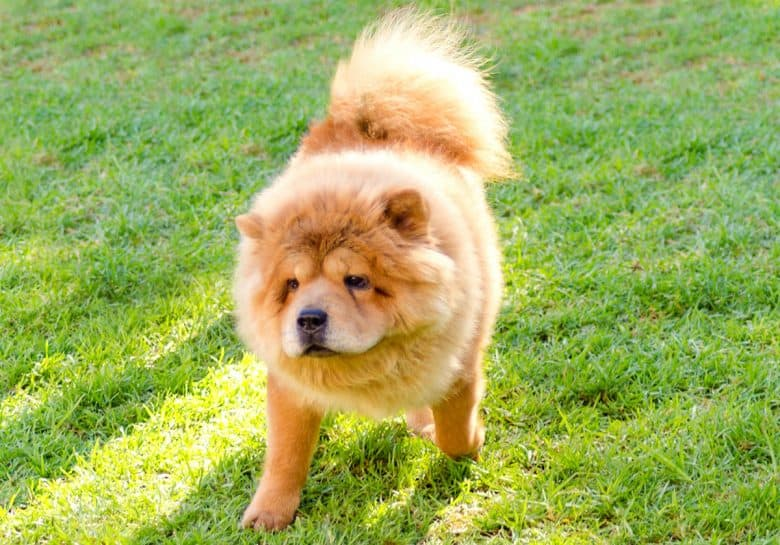 Young Chow Chow dog walking on the grass