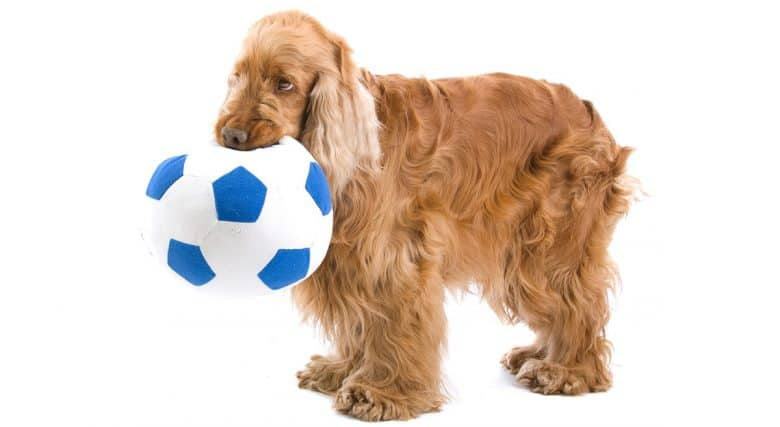 Young English Cocker Spaniel chewing soccer ball toy