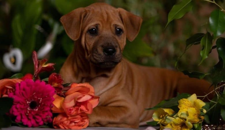 Young Thai Ridgeback dog lying beside the flowers