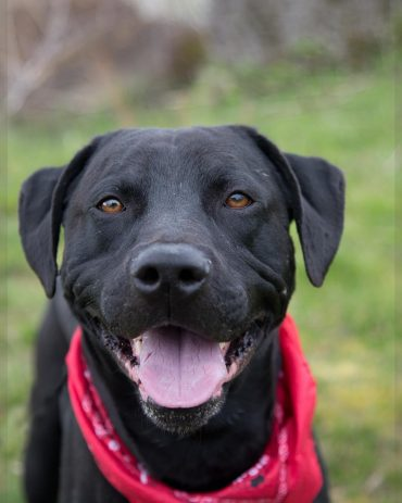Black Pitbull Lab mix smiling Pit lab mix by thevetscare.com
