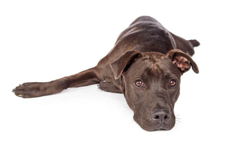 Labrador Pit Bull Mix laying down