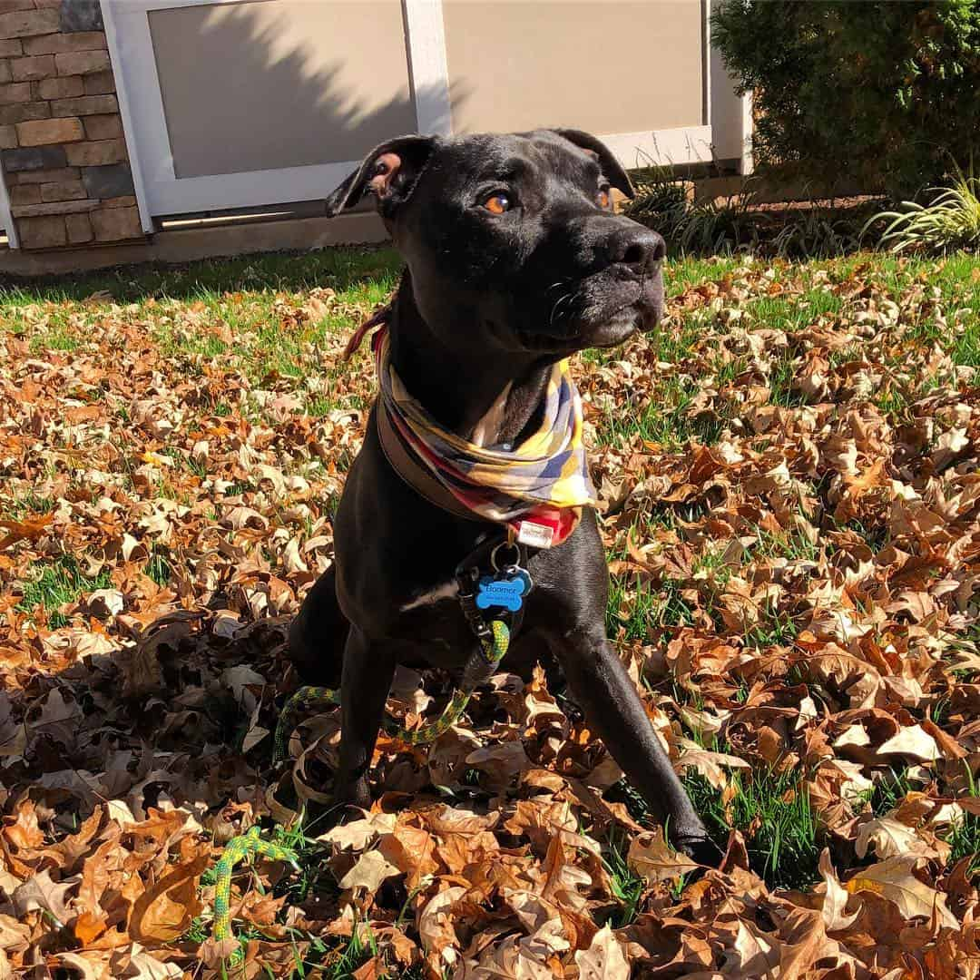 The Pitbull Lab Mix: All You Need to Know - K9 Web