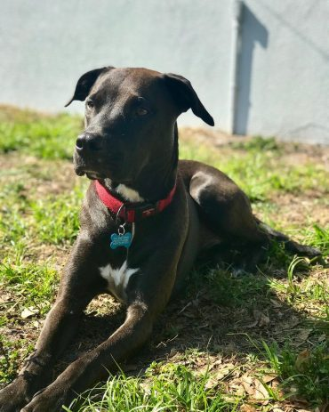 Pit lab mix by thevetscare.com