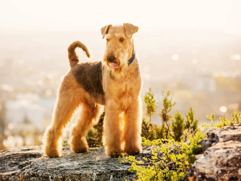 A purebred Airedale Terrier dog standing on a rock