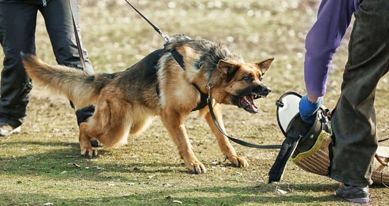 Aggressive dog in a training session