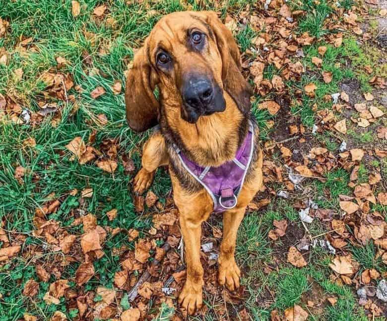 Bloodhound dog close-up portrait
