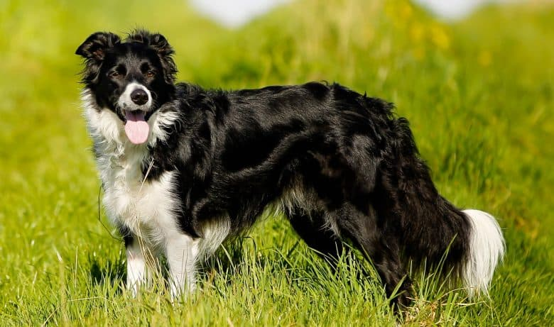 A happy Border Collie dog standing on a grass field
