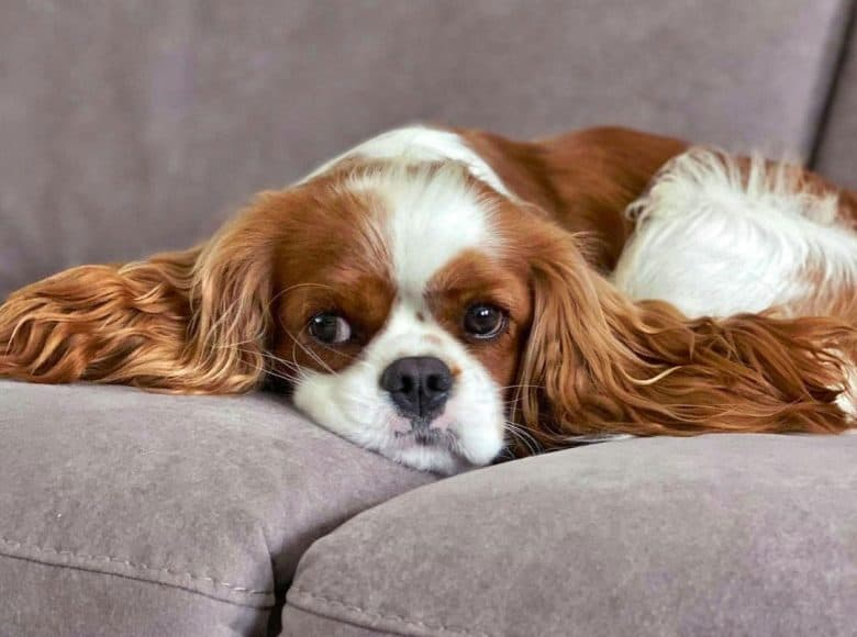 Bored Cavalier King Charles Spaniel dog lying on the couch