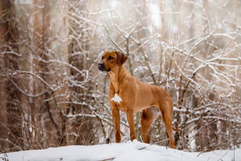 A magnificent Treeing Tennessee Brindle dog standing on snow