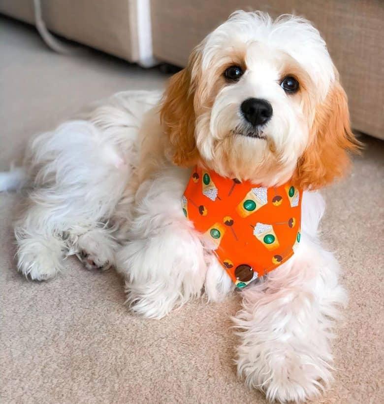 Cavalier King Charles Spaniel and Bichon Frise mix dog portrait