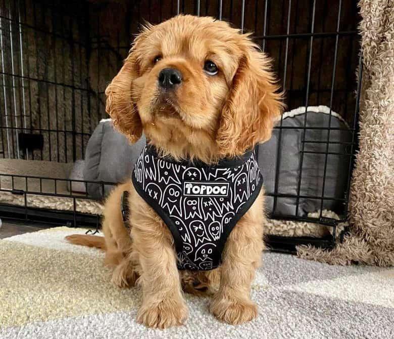 Cavalier King Charles Spaniel and Labrador Retriever mix dog puppy