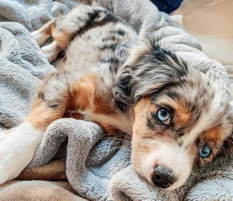 Cavalier King Charles Spaniel and miniature Australian Shepherd mix dog