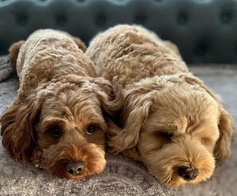 Two Cavalier King Charles Spaniel and Poodle mix dog puppies