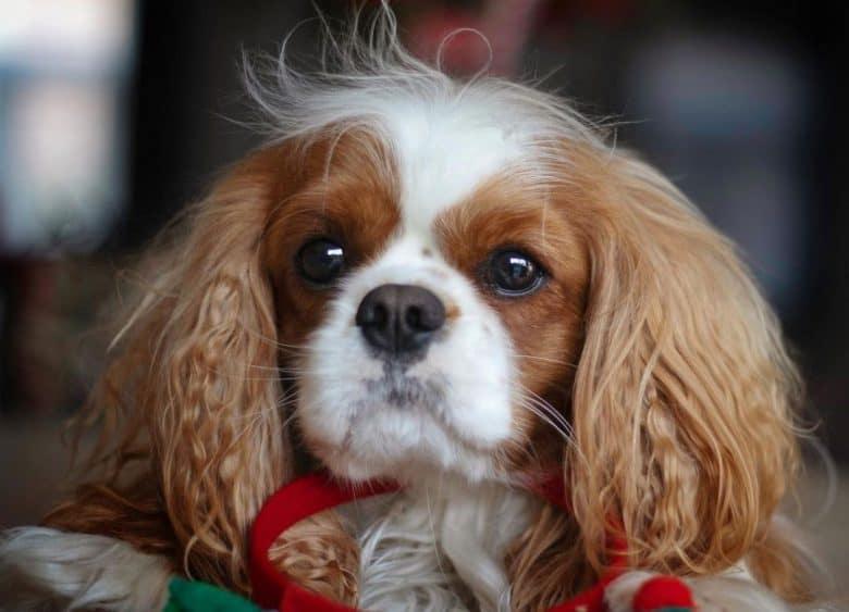 Cavalier King Charles Spaniel dog close-up portrait