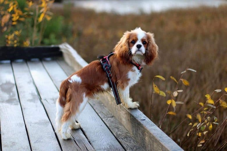 Cavalier King Charles Spaniel dog chillin at the park