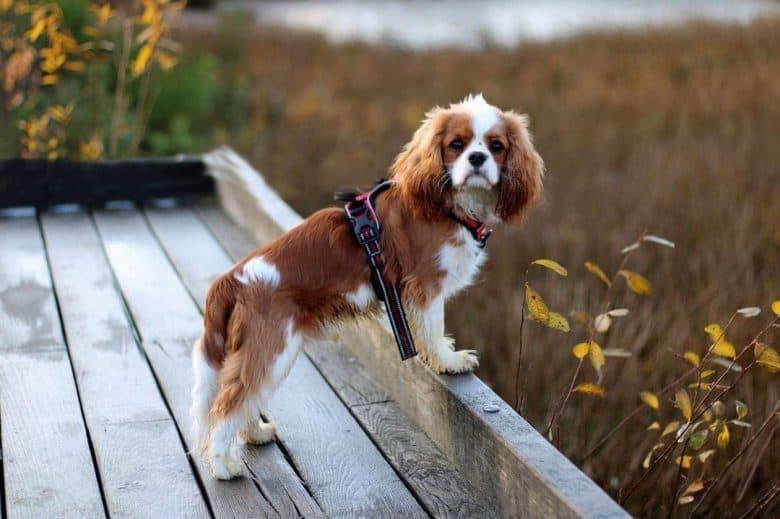 Cavalier King Charles Spaniel dog chillin at the park