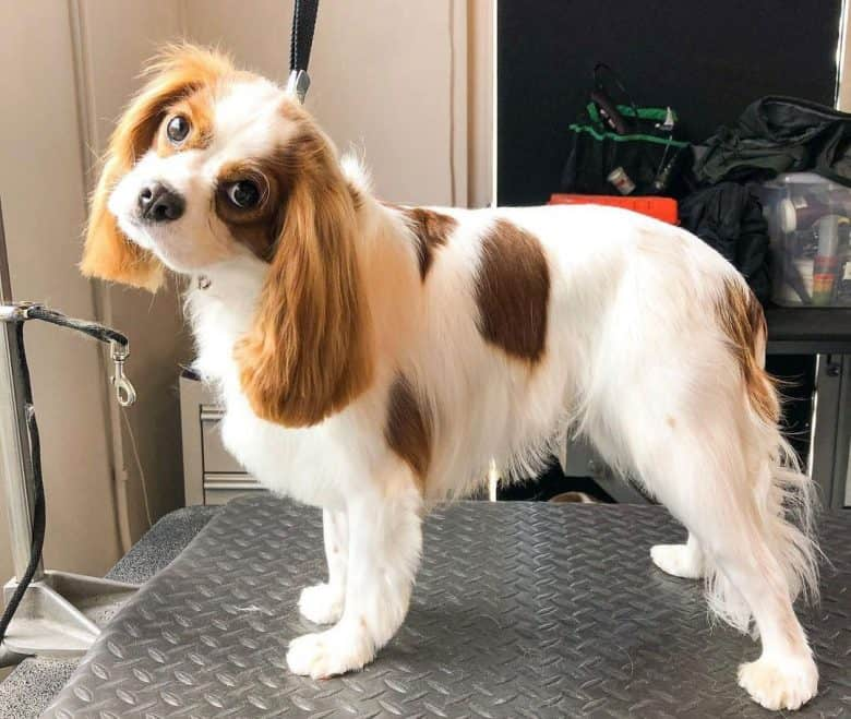 Cavalier King Charles Spaniel dog in the grooming salon