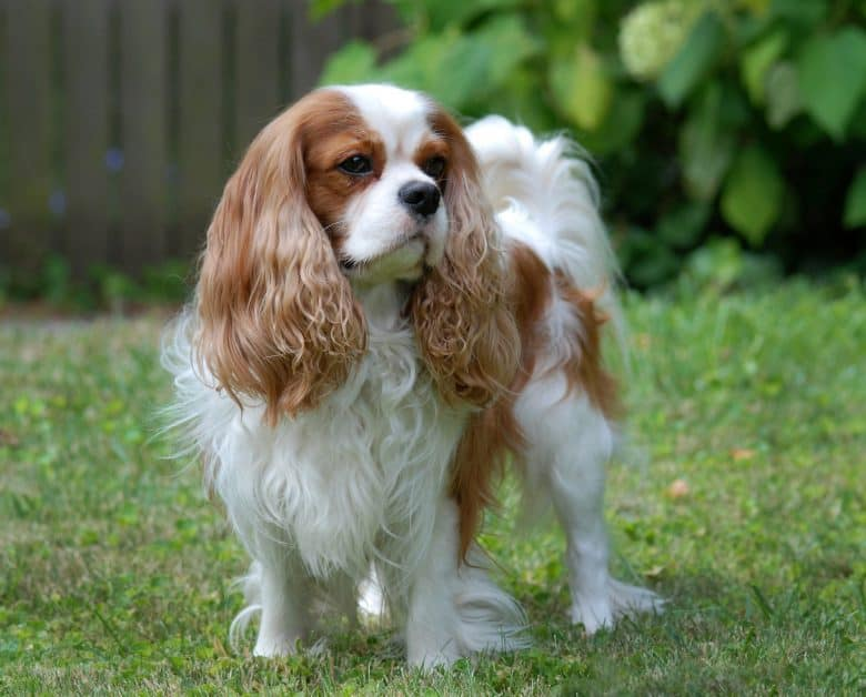 Cavalier King Charles Spaniel dog posing outside