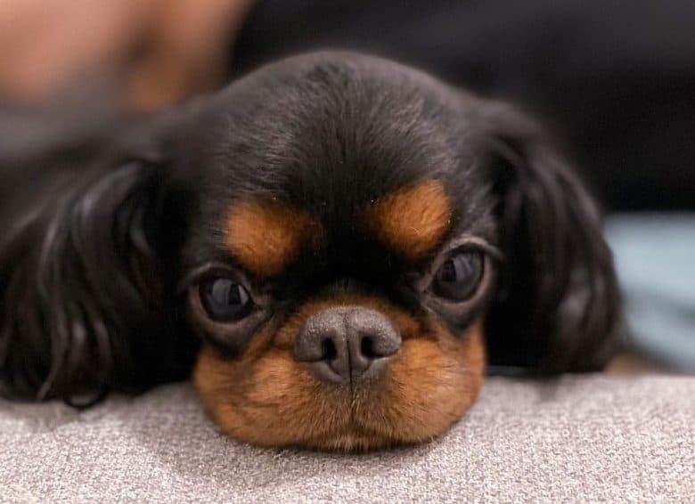 Cute English Toy Spaniel puppy