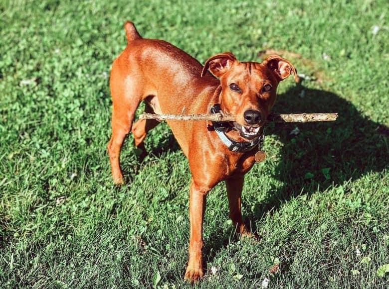 German Pinscher dog playing a stick