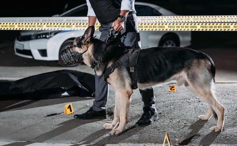 German Shepherd dog at the crime scene