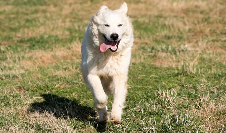 Great Pyrenees dog running on the field