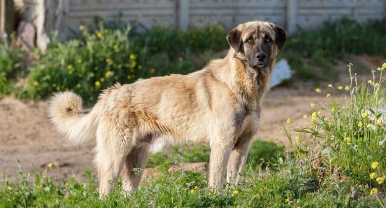 Handsome Anatolian Shepherd dog portrait