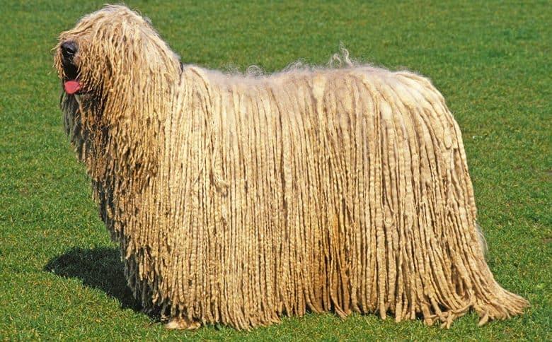 Komondor dog standing on the grass