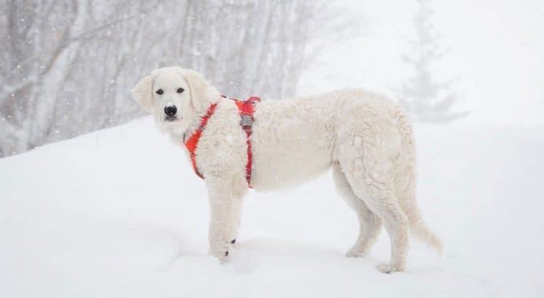 Kuvasz dog standing in the snow