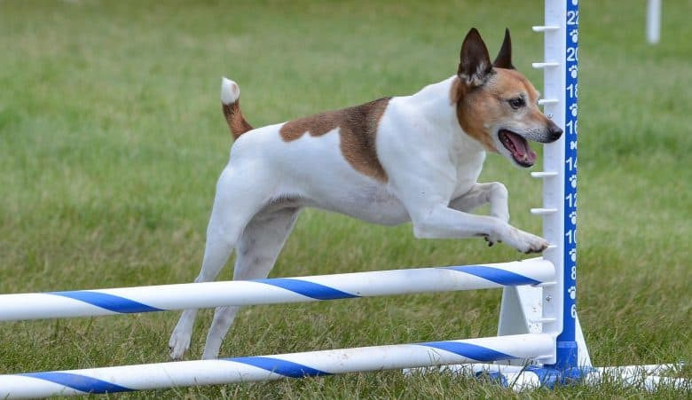 Rat Terrier dog leaping at a agility trial