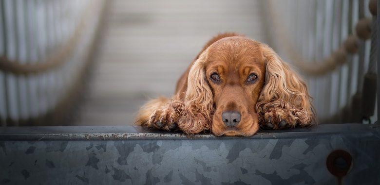 Lonely Cocker Spaniel dog portrait
