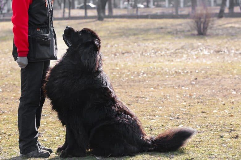 Massive Newfoundland dog with the trainer