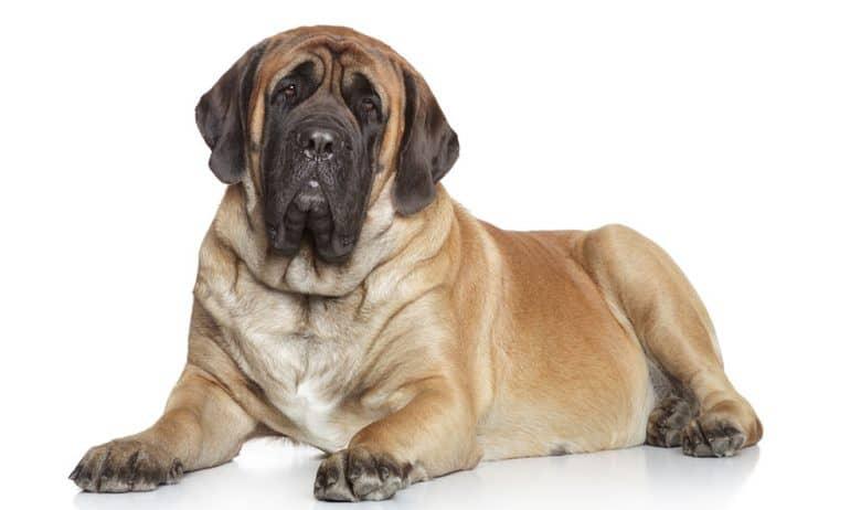 Mastiff dog portrait