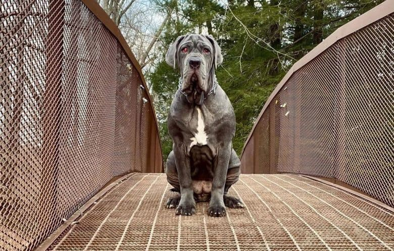 Neapolitan Mastiff dog sitting on the bridge