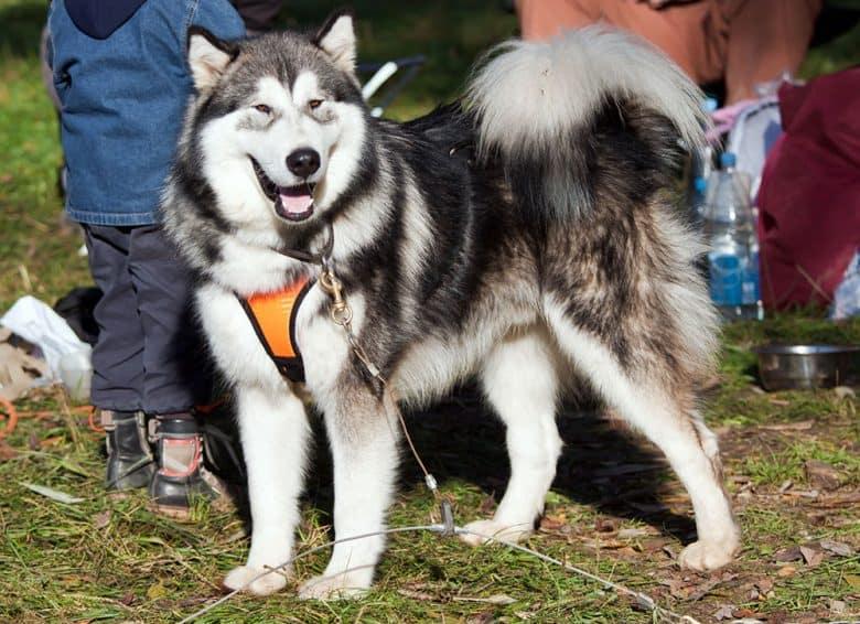 Portrait of an Alaskan Malamute dog