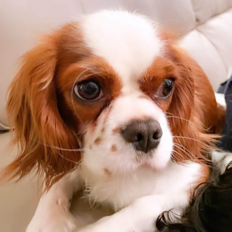 Portrait of King Charles Spaniel dog