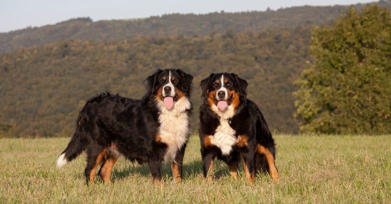 Two Bernese Mountain dog portrait