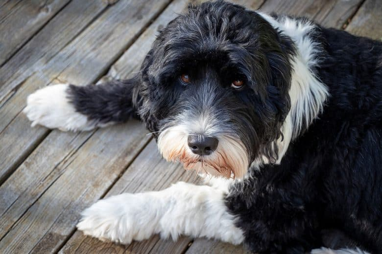 Portuguese Water dog lying on the wooden deck