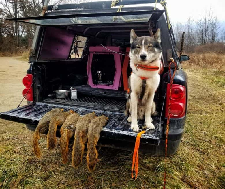 A West Siberian Laika dog having five squirrel down