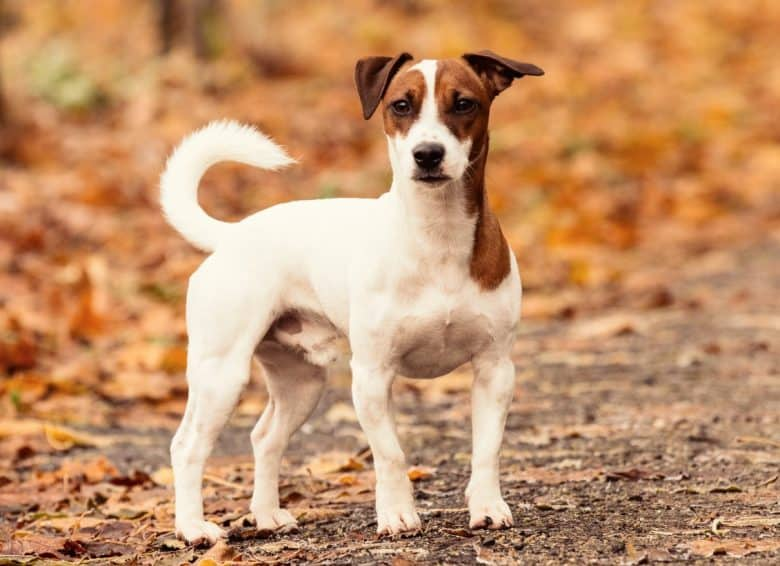 A Jack Russell Terrier dog standing outdoors