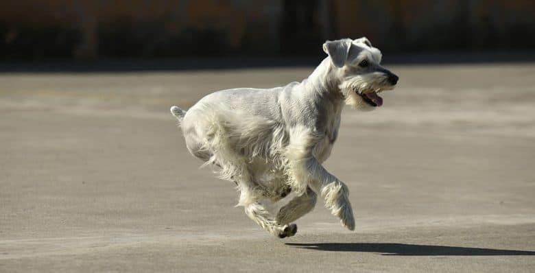 Standard Schnauzer dog running fast on the ground
