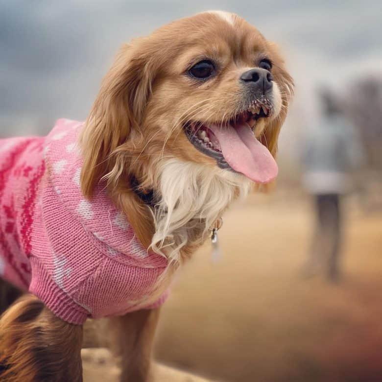 Tibetan Spaniel dog portrait