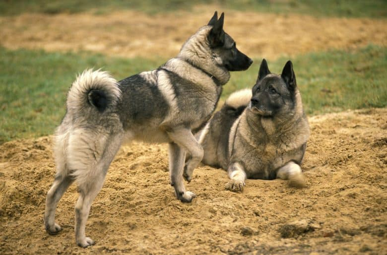Two Norwegian Elkhound dogs one laying and one standing on the sand