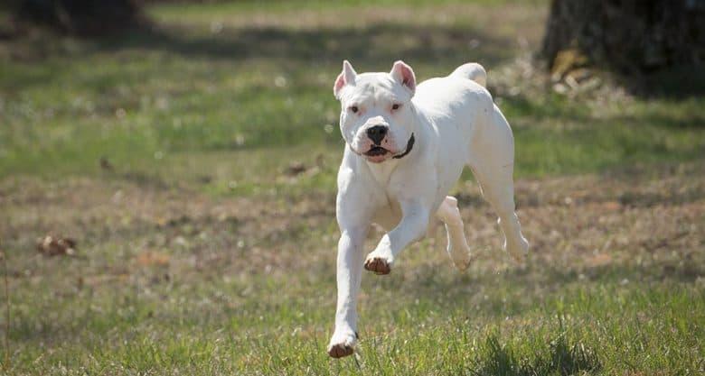 White Dogo Argentino dog running