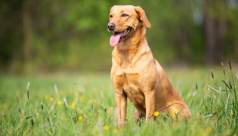 Yellow Labrador Retriever dog sitting on the meadow