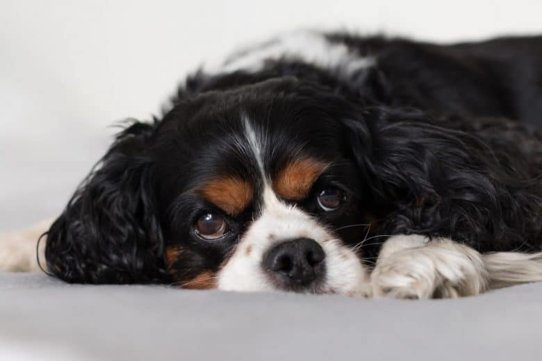 Young Cavalier King Charles Spaniel dog lying on the bed
