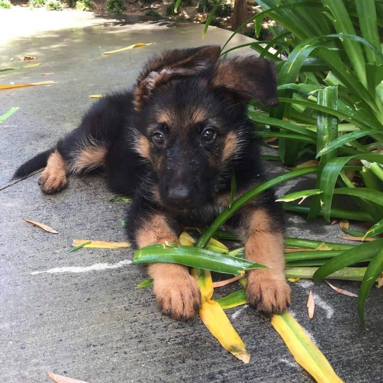 Border Collie German Shepherd mix puppy playing with leaves