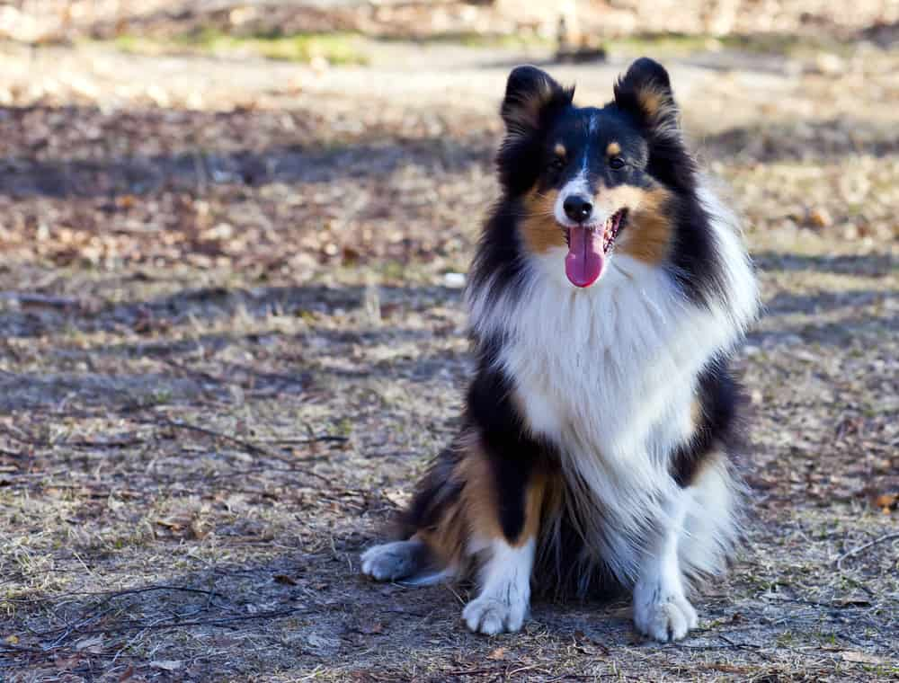 Border Collie sitting outside