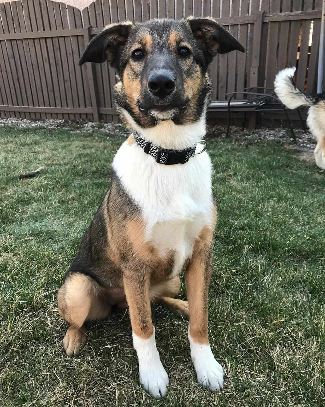Border Collie German Shepherd Mix